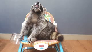 Raccoon opens the bowl, eats only green grapes, and drops the bowl.