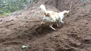 Dog Digs Trench to Play Fetch With Himself