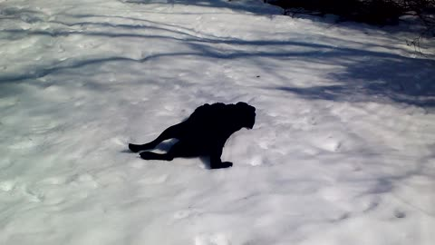 Black Labrador Cannot Get Enough Of Body Sliding In The Snow