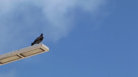 A pigeon perched on top of a light post1