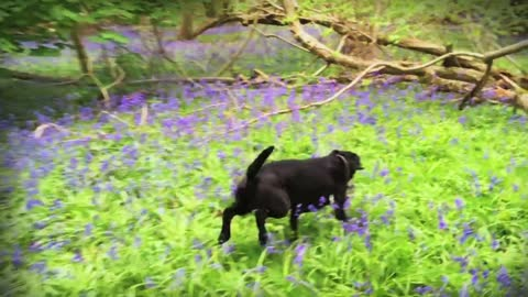 Chasing a dog through a blue bell meadow