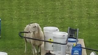 Cute curious sheep checking things out  - Video