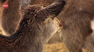 Sacred Japanese Deers Amaze Tourists - Video