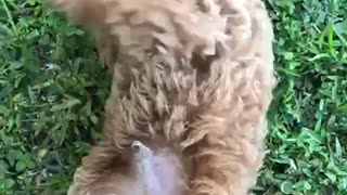 Brown puppy getting pet by owner on belly - Video
