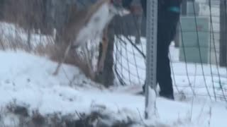 Dangling Deer Released From Fence
