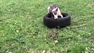 Bull Terrier Having Trouble with a Tire