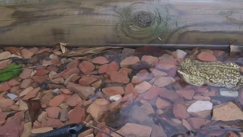 Wild Frog Saved from Swimming pool!