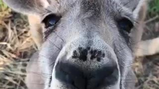 Kangaroo Kisses - Video