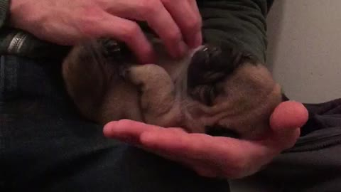 Baby French Bulldog loves belly tickles..