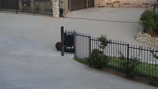 Bears Vs. Bear-Proof Garbage Can - Video