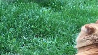 Orange cat watches white dog run back and forth in the grass - Video