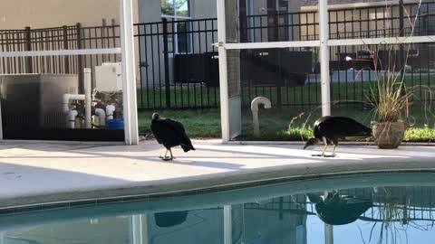 Giant vultures caught inside screened in porch
