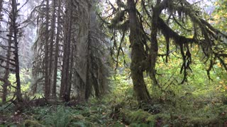 Hoh Rainforest, Olympic National Park, Washington, USA - Video