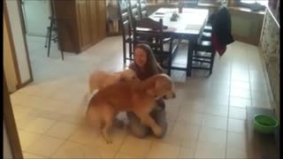 Golden Retrievers enthusiastically welcome home owner - Video