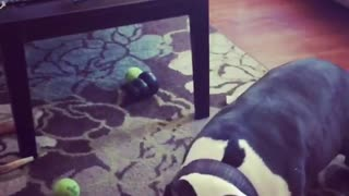 Black and white dog misses green tennis ball badly
