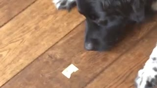 Black dog can't lick cheese off wood floor