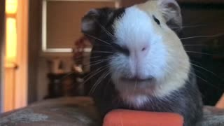 Adorable guinea pig chomps on carrot in epic slow motion