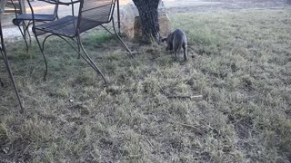 Cute Blue Lacy puppy playing with a stick