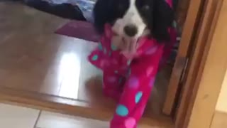 Black and white dog walks around in pink pajamas - Video