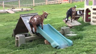 Goats go down slide like a bunch of children!  - Video