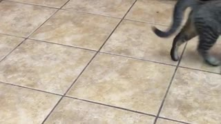 Kitty in kitchen chases own tail - Video