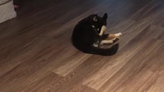 Black dog chasing tail in circles continuously  - Video