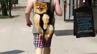 Totally Chill Dog Adorably Rides Along In Owner's Backpack
