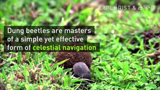 Dung Beetle Navigation - Video
