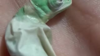 Incredible moment baby chameleon hatches from egg - Video