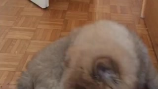 Puppy plays with the tail  - Video