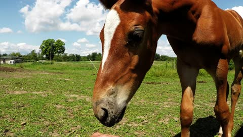Adorably clumsy foal tries to graze like mom