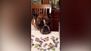 Bulldog Confused By Puzzles - Video