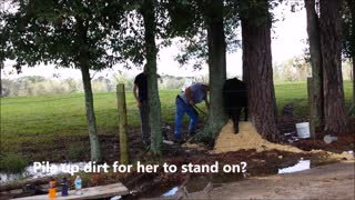 Why Did the Cow Get Stuck in a Tree? - Video