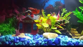 Female Betta Fish Day 2 in the Aquarium Relaxation Video Calming Soothing Peaceful Enjoy