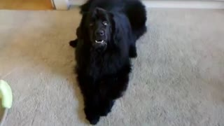 Dog complains about performing tricks - Video