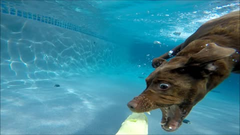 Chocolate Labrador Retriever Star dives underwater in swimming pool for her dog toy