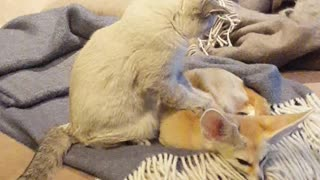 Cat gives fennec fox relaxing massage