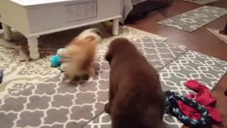 Tiny Pomeranian makes huge puppy dizzy!