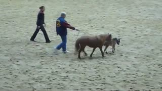 Mini Foal Runs Wild… See How Many People He Dares To Catch Him! - Video