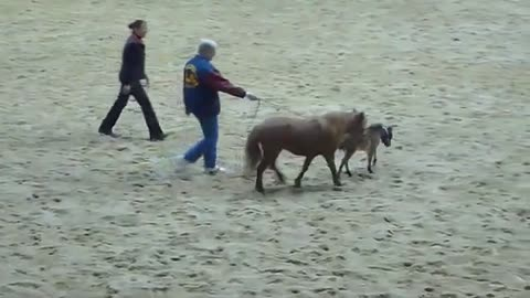Mini Foal Runs Wild… See How Many People He Dares To Catch Him!