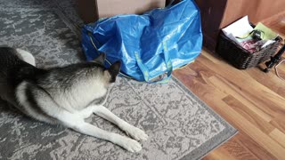 Cat Surprises Husky!  - Video