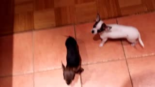chihuahua dog puppies pleasing for food - Video