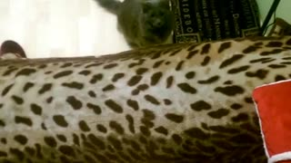 Playful cat attacks owner - Video