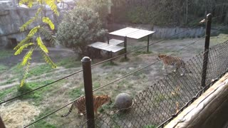 Sporty Tigers playing ball at Oakland Zoo - Video