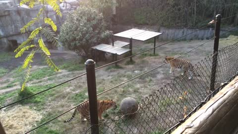 Sporty Tigers playing ball at Oakland Zoo