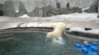 Polar Bears Play - Video