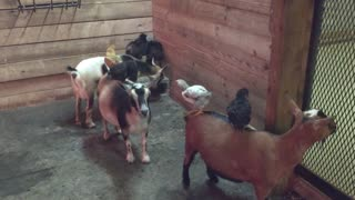 Chicks use patient goats as personal playground - Video