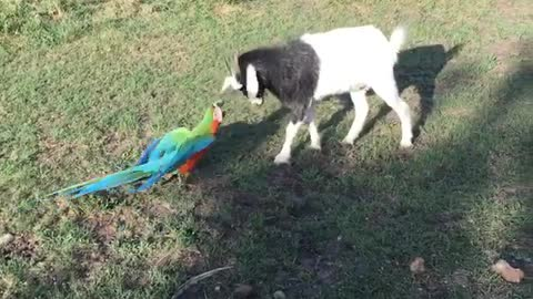 Parrot shows energetic baby goat who's boss!
