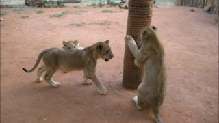 Adorable lion cubs enjoying play time