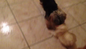 Maltese puppy plays with her best friend - Video